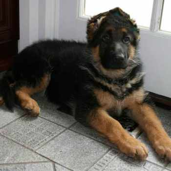 German Shepherd Puppies Gainesville Florida