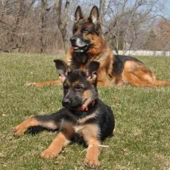 German Shepherd Puppies Illinois