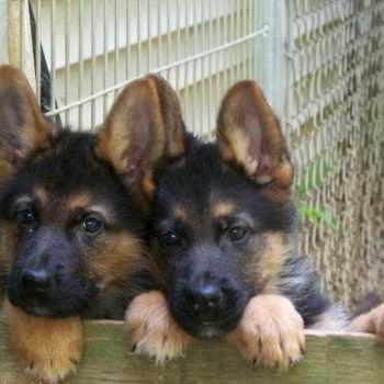 German Shepherd Puppies In Iowa