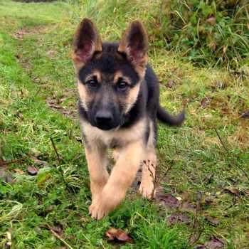 German Shepherd Puppies In My Area
