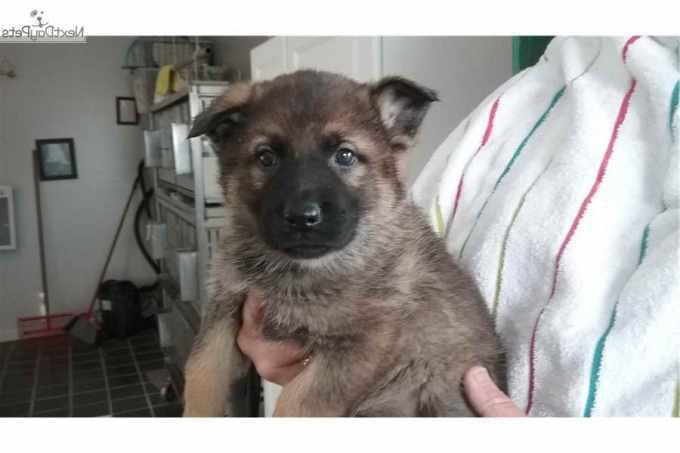German Shepherd Puppies Joplin Mo