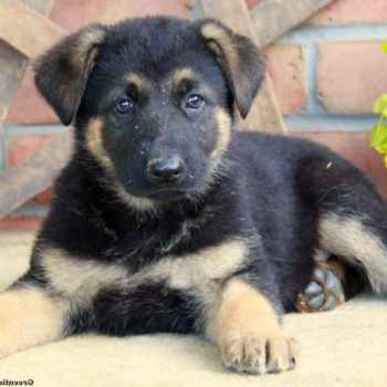 German Shepherd Puppies Lancaster Pa