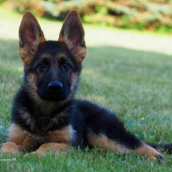 German Shepherd Puppies Michigan