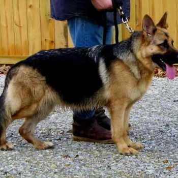 German Shepherd Puppies Mississippi