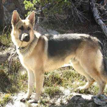 German Shepherd Puppies Northern Ca