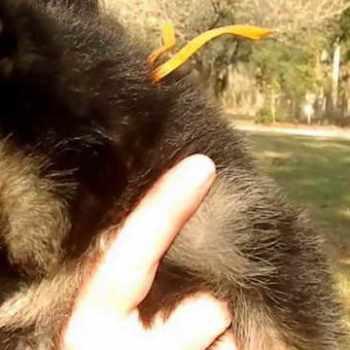 German Shepherd Puppies Ocala Fl