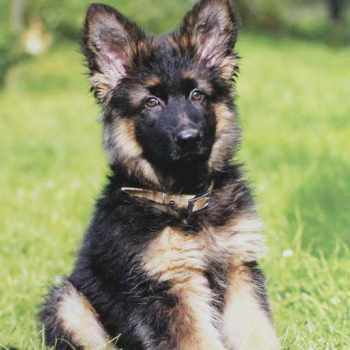 German Shepherd Puppies Orlando
