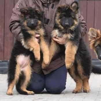 German Shepherd Puppies Quad Cities