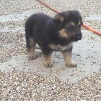 German Shepherd Puppies Reno Nv