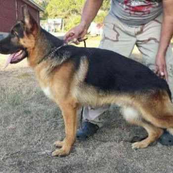 German Shepherd Puppies San Antonio