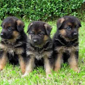 German Shepherd Puppies Tennessee