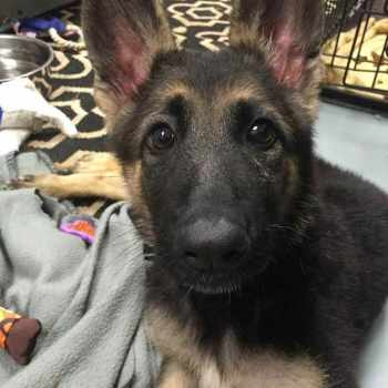 German Shepherd Puppies Up For Adoption