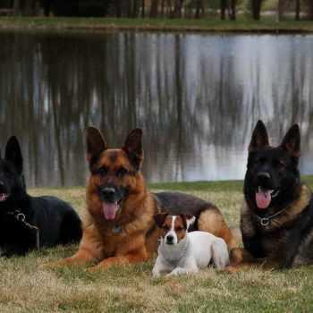 German Shepherd Puppies West Virginia