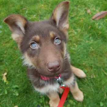 German Shepherd Puppies With Blue Eyes