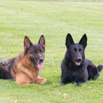 German Shepherd Puppies Wny