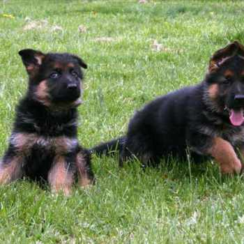 German Shepherd Purebred For Sale