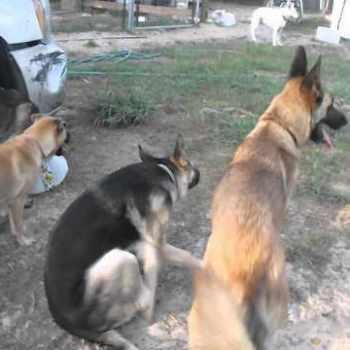 German Shepherd Rescue Fl