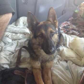 German Shepherd Rescue Harrah Oklahoma