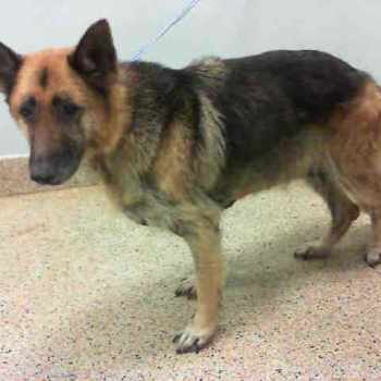 German Shepherd Rescue Miami