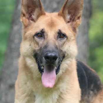 German Shepherd Rescue Nashville Tn