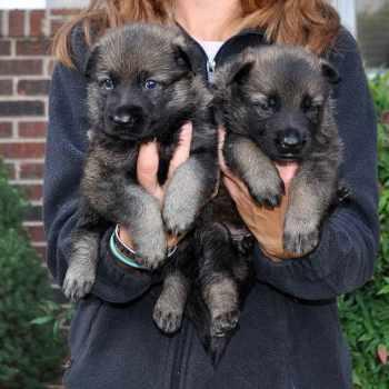 German Shepherd Rescue Nc Charlotte