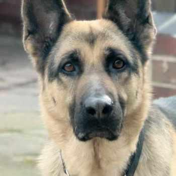 German Shepherd Rescue Nh