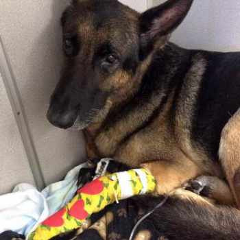 German Shepherd Rescue Orlando