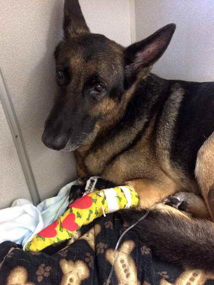 German Shepherd Rescue Orlando