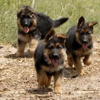 German Shepherd Rescue Puppies