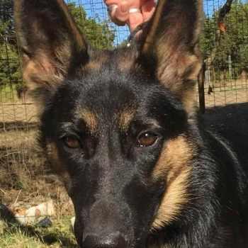 German Shepherd Rescue San Antonio Texas