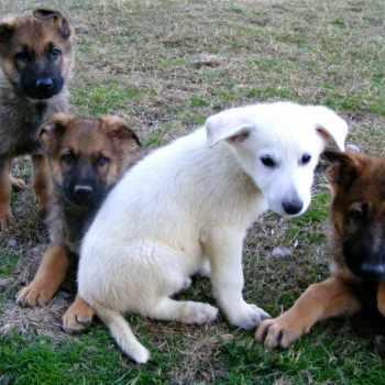 German Shepherd Rescue Sc