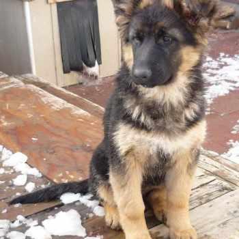 German Shepherd Rescue Spokane Wa