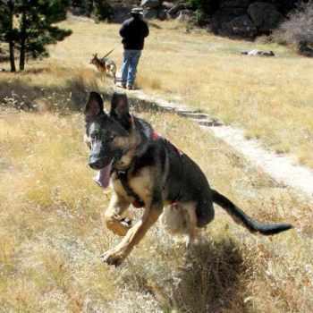 German Shepherd Rescue Tx