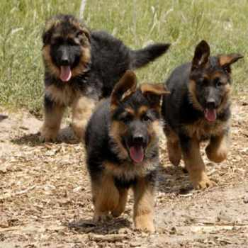 German Shepherd Rescue Vt