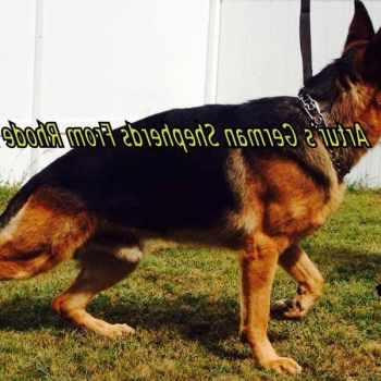German Shepherd Ri