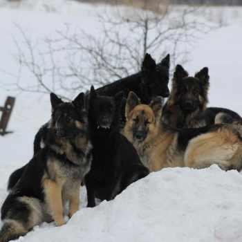 German Shepherd Rochester Ny