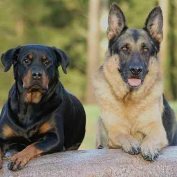 German Shepherd Rottweiler Mix For Sale