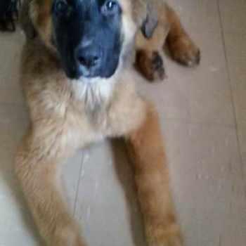 German Shepherd Saint Bernard Mix For Sale