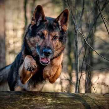 German Shepherd Screensaver