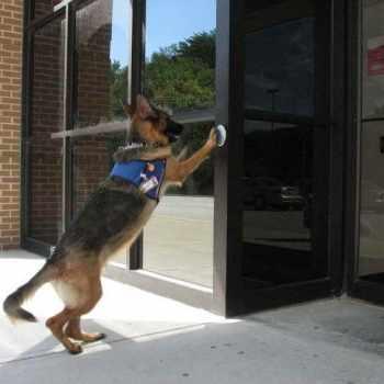German Shepherd Service Dog Training