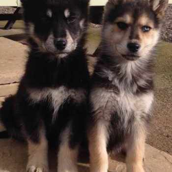 German Shepherd Siberian Husky Mix For Sale