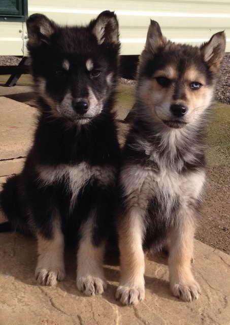 German Shepherd Siberian Husky Mix For Sale