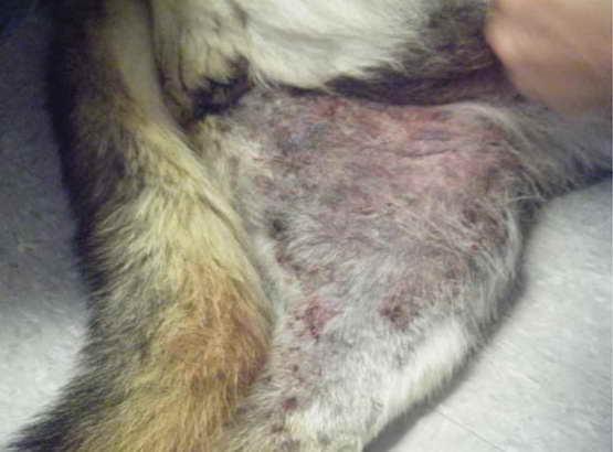 German Shepherd Skin Allergies