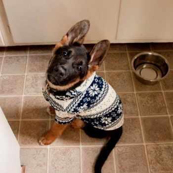 German Shepherd Sweater