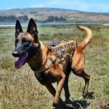 German Shepherd Tactical Training