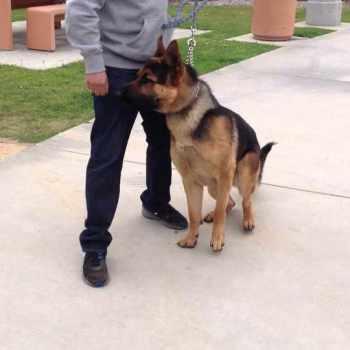 German Shepherd Training Los Angeles