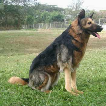 German Shepherd Usa
