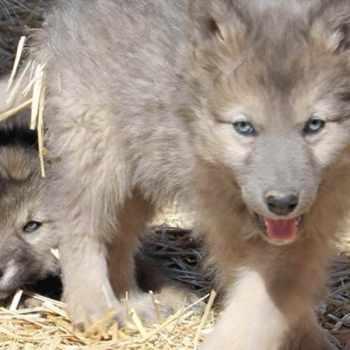 German Shepherd Wolf Mix Puppies For Sale
