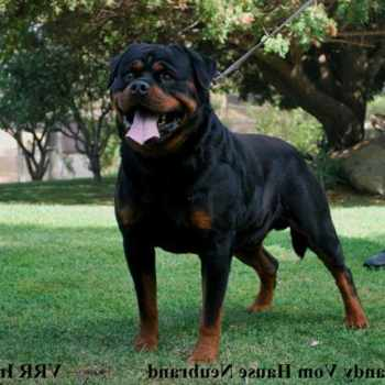Giant Rottweiler For Sale