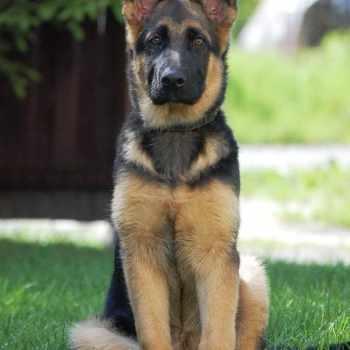 Girl German Shepherd
